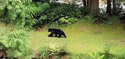 Aggressive bear