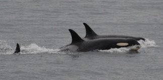 Orca J35 abandons dead calf